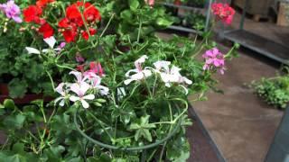 #372 Über Geranium und Pelargonium