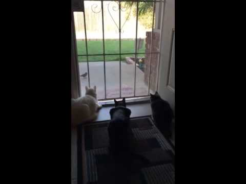 Dog Adorably Terrifies Cats Stalking Bird