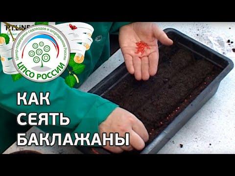 Как сеять баклажаны. Посев семян баклажанов на рассаду.