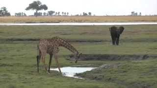 A giraffe bends down to drink water in the Chobe National ParkBotswana, Africa. Full HD safari footage from Safaricam.