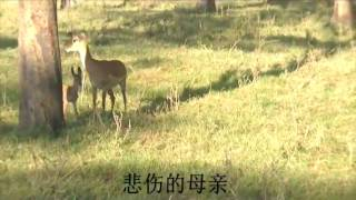 Impala's revenge attack on baboons 黑斑羚复仇记(Ambose...