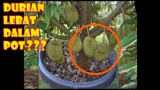 Video # TIS # Durian Kerdil Buah Lebat diPot Montong,Bawor  What makes Planting Durian in Pots Get Failed? MP3, 3GP, MP4, WEBM, AVI, FLV Agustus 2018