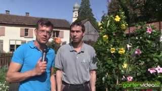 #1054 Wasserbedarf und Speicherwurzeln der Mandevilla Dipladenia