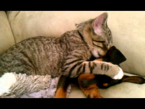Cat Taking Care of Puppy.