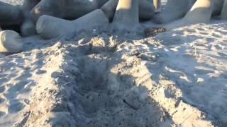 砂浜に続くウミガメの足跡…産卵できずにさまよう姿に胸が痛む