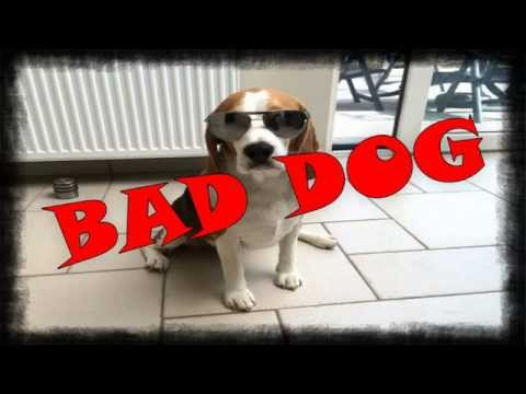 bad dog! - beagle scatenati