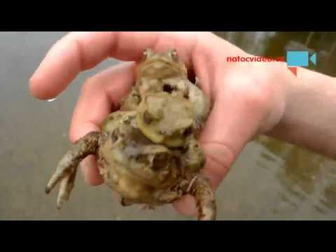 Páření žab