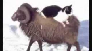 Кошка верхом на баране