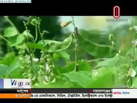 Bean harvested earlier in Naogaon to recover losses occurred during flood (10-12-2017)