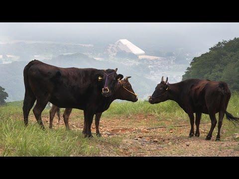 スキー場に但馬牛を放牧 神鍋高原