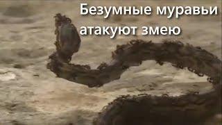 Змея осматривала владения и столкнулась с армией муравьев ❘ видео