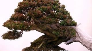 Itoigawa Japan  city photos : Juniperus Itoigawa Bonsai Work, 2012, Shimpaku.Japan,Tenerife, Canarias, España By Jose Acuña