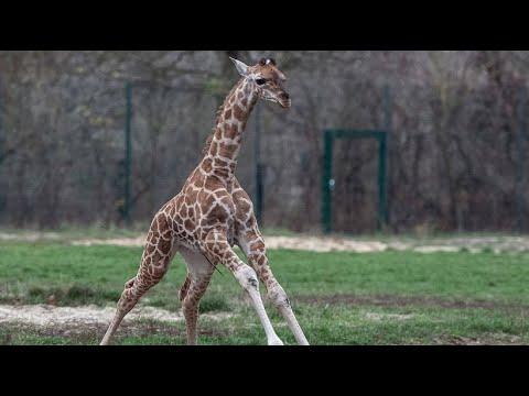 Berlin: Tierpark Berlin - die kleine Giraffe Elle tob ...