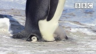 Snow chick is embarrassingly big for his pouch - Snow Chick: A Penguin's Tale Preview - BBC One