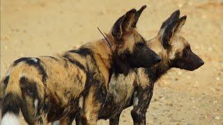 Video Wild Dog Partners In Crime - Animals In Love - BBC MP3, 3GP, MP4, WEBM, AVI, FLV Januari 2018