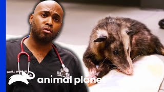 Good Nutrition Will Make This Opossum Walk Again | The Vet Life by Animal Planet