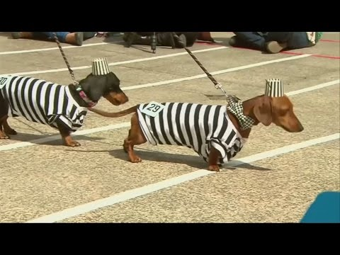 Sausage dogs compete in fancy dress at Oktoberfest