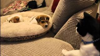 Video Cat meeting the puppies for the first time. MP3, 3GP, MP4, WEBM, AVI, FLV Agustus 2019