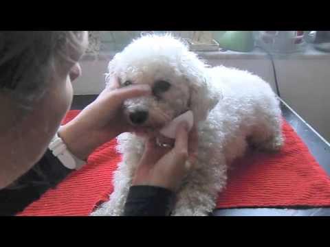 Tränenstein bei Hund entfernen. Augenpflege bei weißen Hunden