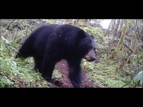 Bear Attacks Trail Camera – (plus) – Footage of Roosevelt Elk and Black-tail deer