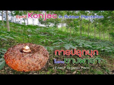Ep#3 Konjac in rubber Plantation/ การปลูกบุกในสวนยางพารา