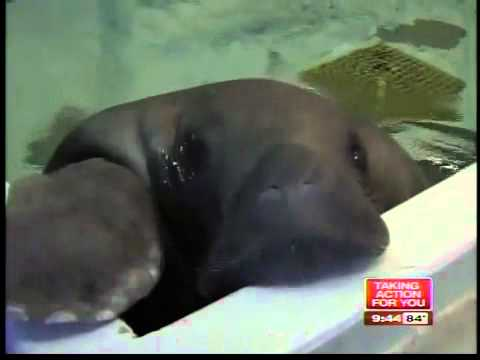 Snooty the Oldest Known Manatee