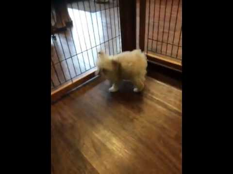 Cute female toy poodle