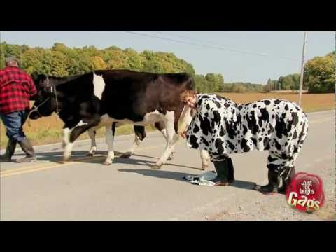 Most Wanted Booted Cow Prank