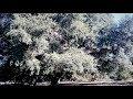 Messis Balanorum Autumno | Fall Acorn Harvest