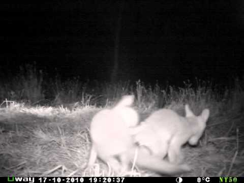 Uway NT50B capturing some young fox cubs playing around the den. The light in the backgound is another NT50B camera. The black flash of these cameras is undetectable to people and wildlife which allows you to get great footage as they aren't being disturbed or alerted by the cameras infrared.