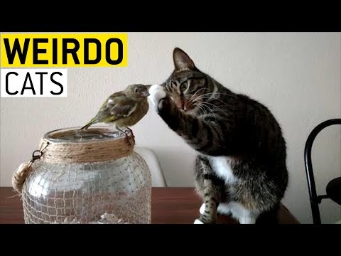 Cats Being Weirdos    JukinVideo