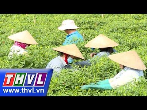 THVL | Nhịp sống đồng bằng: Đồng ớt Chợ Gạo