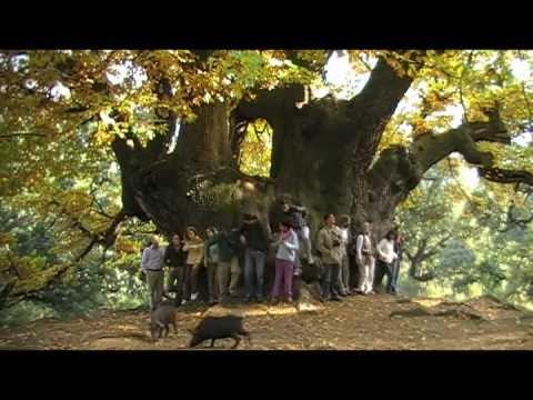 MARBELLA TRIP: Holy Chestnut Tree. Excursión al Castaño Santo con PINSAPO