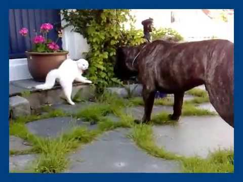 10 month old Bullmastiff (Jonah) Meets His First Cat