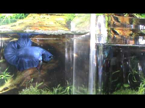 Blue Halfmoon Plakat Betta Fish HMPK