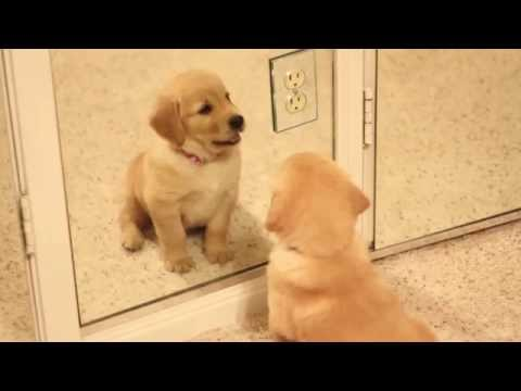 golden retriever puppy in the mirror!