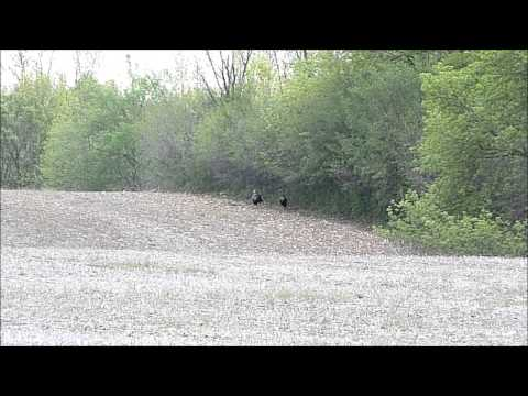 Spring Turkey Hunting 2013