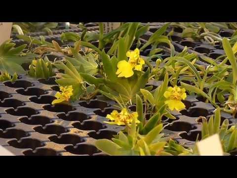 Orchideen Arten: Psygmorchis pusilla