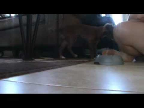 Rodie Chihuahua Self Control Series 1
