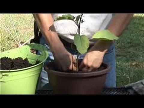 Container Gardening : How to Grow Eggplant in a Container