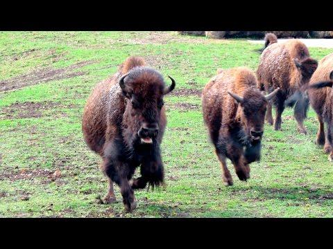 Американский Бизон - American bison
