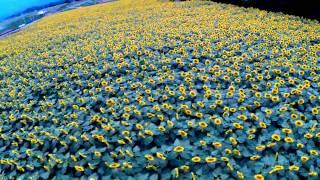空撮 / 北杜市の向日葵畑