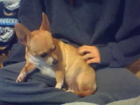 Cute little brown chihuahua