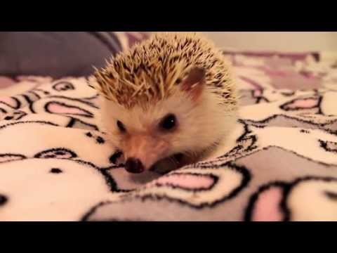hedgehog - I did a video today with Ms. Teazel on how to pick up and hold your new hedgehog, which can be a pretty intimidating experience if the hedgehog is very aggre...