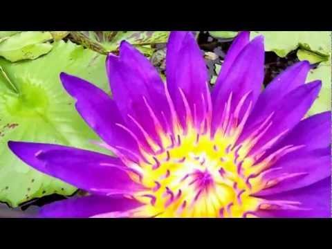 Nymphaea Tanzanite water lily