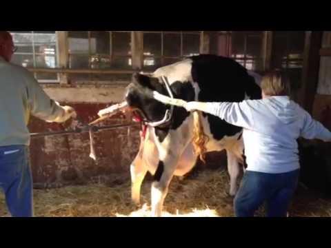 Preschoolers watch cow give birth.