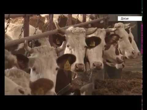 Хозяйства Алтайского края бьют рекорды по надоям