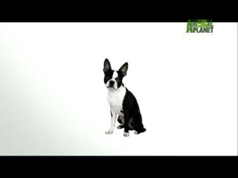 the wonderful boston terrier!