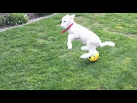 la dolcezza di un agnellino felice che gioca con la palla rincorrendo il gatto