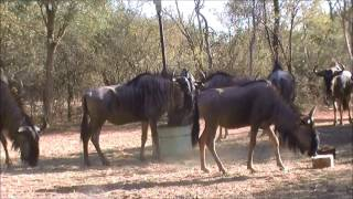 Thabazimbi South Africa  city pictures gallery : Blue Wildebeest Cow Bow Hunt - Thabazimbi - South Africa